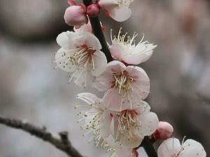 Japanese apricot/ ウメ 花の姿 品種 旭鶴