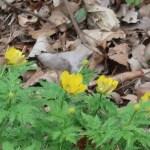 Far East Amur adonis/ フクジュソウ 盛りを過ぎた花の咲く様子
