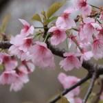 Cherry var. Oh-kanzakura/ オオカンザクラ 散り始めた花の姿
