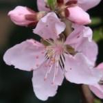 Almond/ アーモンド 花の姿