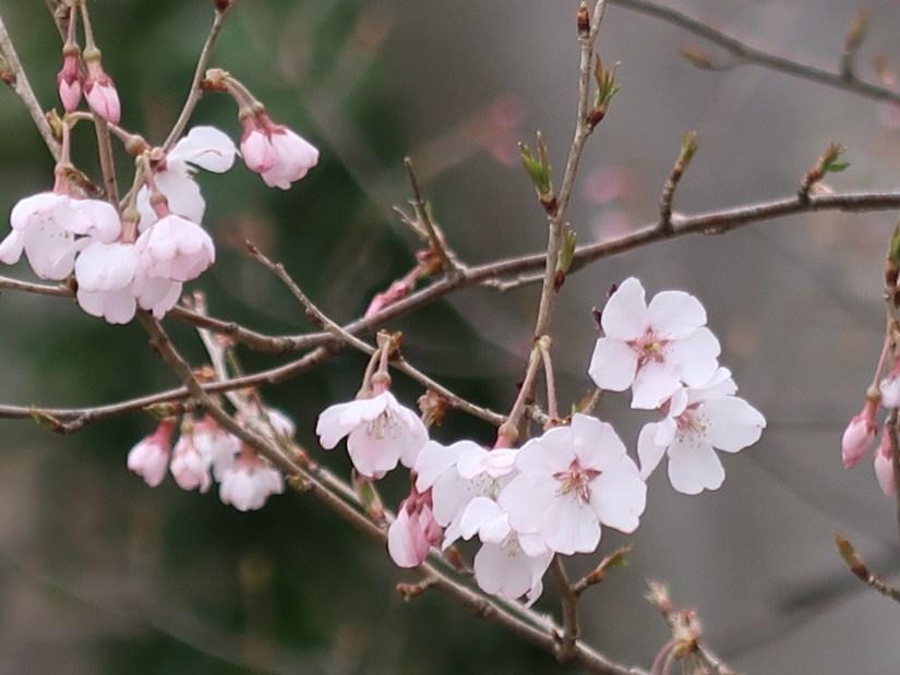 Cherry var. Kohigan/ コヒガン