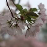 Kanzaki oshima/ カンザキオオシマ 花の姿