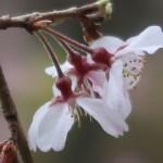 Cherry var. Shidare-sakura/ シダレザクラ 花の姿