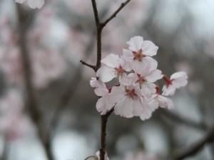 Cherry var. Kohigan/ コヒガン 花の様子