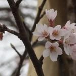 Cherry var. edohigan/ エドヒガン 若木の花の様子
