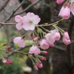 Cherry var. Jindai-akebono ジンダイアケボノ 花の様子