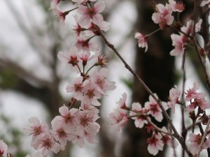 Cherry var. Tokai/ トウカイザクラ 花の咲いている様子