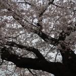 Cherry var. Someiyoshino/ ソメイヨシノ 花の咲いている様子 原木候補の木