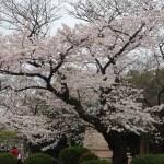 Cherry var. Someiyoshino/ ソメイヨシノ 原木候補の木の全景