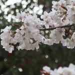 Cherry var. Yamazakura/ ヤマザクラ 花の姿