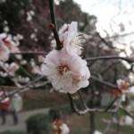 Japanese apricot/ ウメ 花の姿 品種 無類絞り