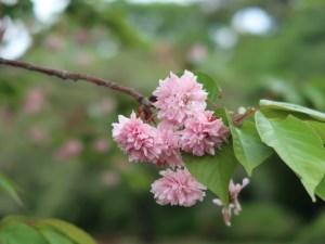 Cherry var. Juzukakezakura/ バイゴジジュズカケザクラ 花の様子