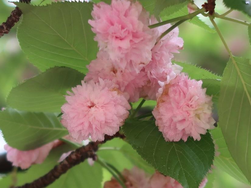 Kenroenkikuzakura/ 兼六園菊桜