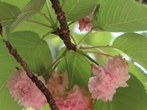 Kenroenkikuzakura/ 兼六園菊桜 花の様子
