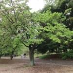 Kenroenkikuzakura/ 兼六園菊桜 花の咲いている木の様子