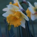 Wild daffodil / ラッパスイセン 花の姿