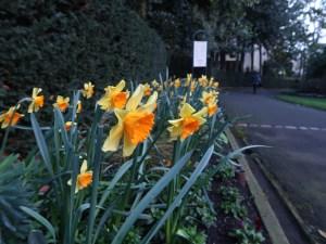 Long-cupped daffodil/ タイハイスイセン 花の咲いている様子