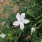 Common Jasmine/ ソケイ 花の様子