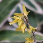 Forsythia 'Kumson'/ チョウセンレンギョウ 花の姿