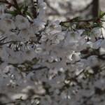 ソメイヨシノ又はその近縁種 花の様子