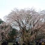 Cherry var. Shidare-sakura/ シダレザクラ 六義園 大枝垂桜