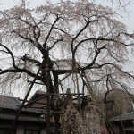 Cherry var. Shidare-sakura/ シダレザクラ 樹齢400年の枝垂桜