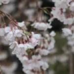 Cherry var. Shidare-sakura/ シダレザクラ 花の咲いている姿