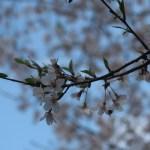 Cherry var. usubenihigan /ウスベニヒガン 花の様子