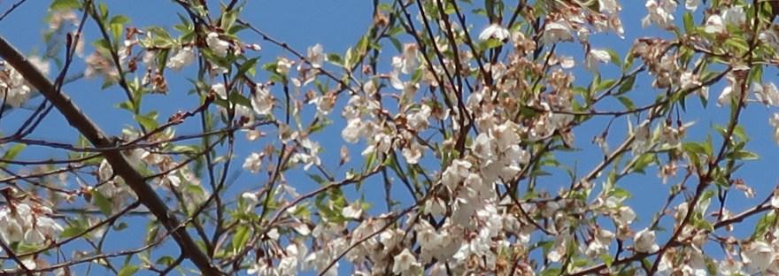 Prunus taiwaniana/ ムシャザクラ