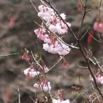Cherry var. shofukuji/ ショウフクジ