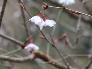 Cherry var. Hoshizakura / ホシザクラ 花の姿