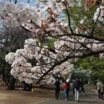 Koshioyama/ コシオヤマ 花の咲いている枝の様子