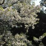 Cherry var. Oshima/ オオシマザクラ 花の咲いている様子