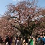 Cherry var. Ichiyou/ イチヨウ 花の咲いている木の様子