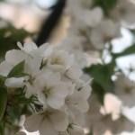 Cherry var. Oshima/ オオシマザクラ 花の姿