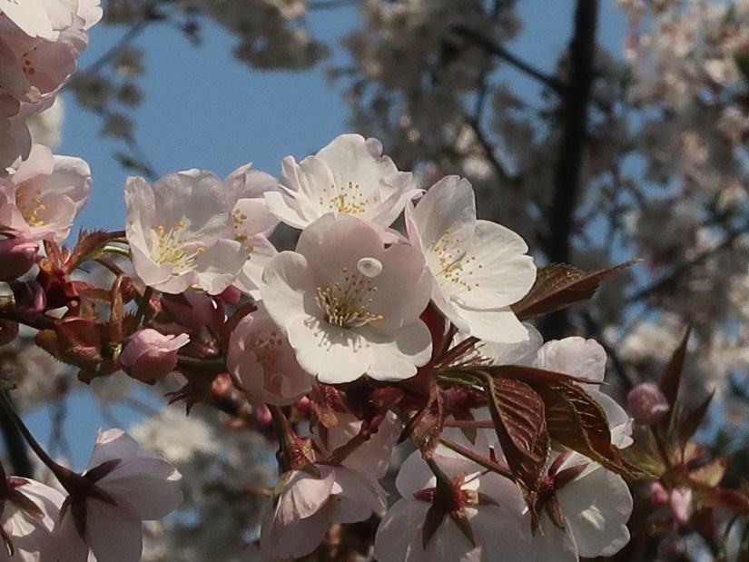 Cherry var. 'Arashiyama'/ アラシヤマ