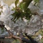 Cherry var. Shirotae/ シロタエ 花の様子