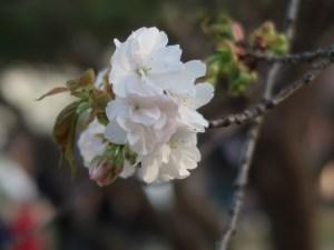 Cherry var. Kotohira コトヒラ