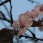 Sargent's cherry/ オオヤマザクラ