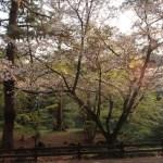 Cherry var. Bendono/ ベンドノ 花の咲いている木の様子