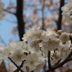 Cherry var. Yamazakura/ ヤマザクラ 花の様子