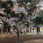 Koshioyama/ コシオヤマ 花の咲いている若木の様子