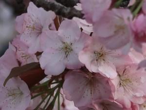 Cherry var. Chousiuhizakura/チョウシュウヒザクラ