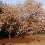 Cherry var. edohigan/エドヒガン 花の咲いている木の全景