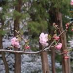 cherry var. Gosyozakura/ ゴショザクラ 花の咲いている様子