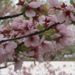 Cherry var. Takasago/ タカサゴ 花の様子