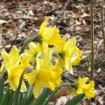 Wild daffodil / ラッパスイセン 花の様子