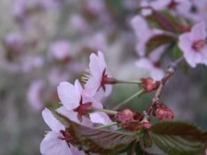 Kurile cherry / チシマザクラ 花の様子