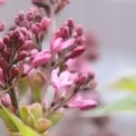 Lilac/ ライラック 咲き始めの花の様子(紫花)
