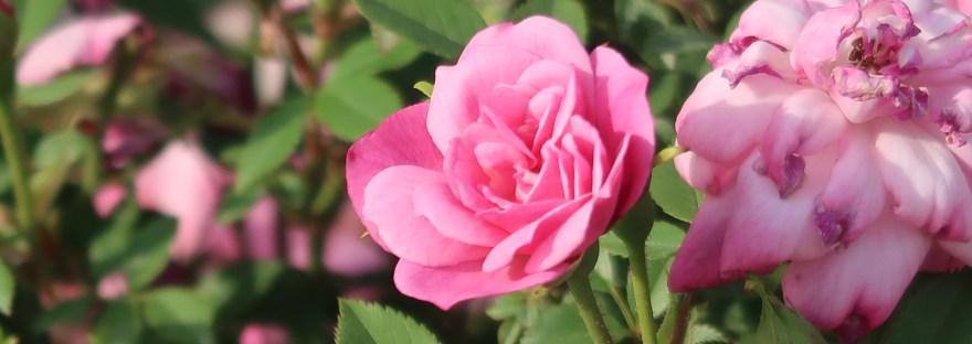 Fairy Rose/ ロサ・キネンシス・ミニマ